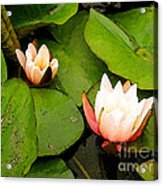 Lotus B Position Acrylic Print by Charlie Spear