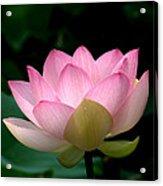 Lotus Beauty--blushing Dl003 Acrylic Print by Gerry Gantt