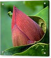 Lotus Bud--bud In A Blanket Dl049 Acrylic Print by Gerry Gantt