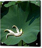 Lotus Leaf--castoff IIi Dl060 Acrylic Print by Gerry Gantt