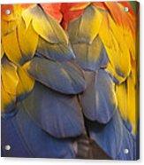 Macaw Parrot Plumes Acrylic Print by Adam Romanowicz
