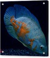 Magic Fish Name Oscar  Acrylic Print by Colette V Hera  Guggenheim