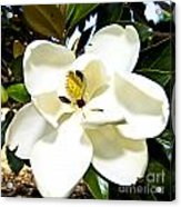 Magnolia Acrylic Print by Clinton Lundberg