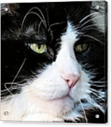 Maine Coon Face Acrylic Print by Michelle Milano
