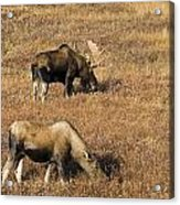 Male And Female Moose Alces Alces In Acrylic Print by Philippe Widling