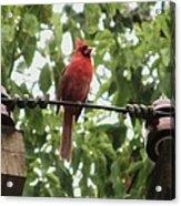Male Cardinal One Acrylic Print by Todd Sherlock