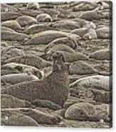 Male Elephant Seal Barking Amidst Acrylic Print by Robert Postma