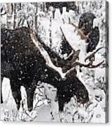Male Moose Grazing In Snowy Forest Acrylic Print by Philippe Henry