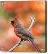 Male Northern Cardinal - D007810 Acrylic Print by Daniel Dempster