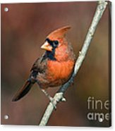Male Northern Cardinal - D007813 Acrylic Print by Daniel Dempster