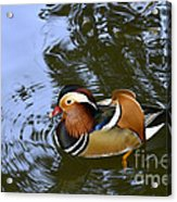 Mandarin Duck 04 Acrylic Print by Arik Baltinester