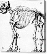 Mastodon Skeleton Drawing Acrylic Print by Science Source
