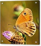 Meadow Brown Butterfly  Acrylic Print by Elena Elisseeva