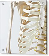 Midsection Of An Anatomical Skeleton Model Acrylic Print by Rachel de Joode