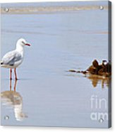 Mirrored Seagull Acrylic Print by Kaye Menner