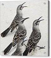 Mockingbirds Mimidae Galapagos, Equador Acrylic Print by Keith Levit