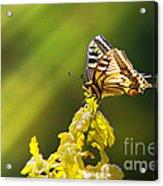 Monarch Butterfly Acrylic Print by Carlos Caetano
