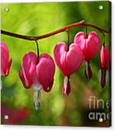 Month Of May Bleeding Hearts Acrylic Print by Steve Augustin