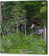 Moose3 Acrylic Print by Rich OConnor