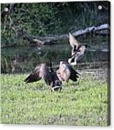 Mother Goose Chasing Mallard Acrylic Print by James Hammen