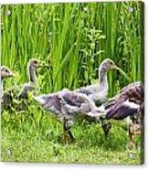 Mother Goose Leading Goslings Acrylic Print by Simon Bratt Photography LRPS
