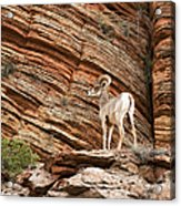Mountain Goat Acrylic Print by Jane Rix