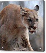Mountain Lion Acrylic Print by Paul Ward