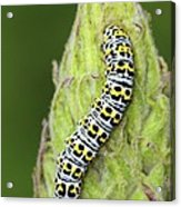Mullein Moth Caterpillar Acrylic Print by Colin Varndell