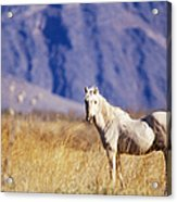 Mustang Acrylic Print by Mark Newman and Photo Researchers
