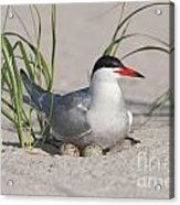 Nesting Common Tern Acrylic Print by Clarence Holmes