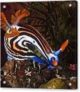 Nudibranch Acrylic Print by Matthew Oldfield