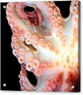 Octopus Acrylic Print by Victor Habbick Visions