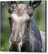 One Year Old Bull Moose With Growing Acrylic Print by Philippe Henry