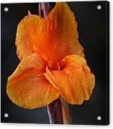 Orange Canna Lily Acrylic Print by Melanie Moraga