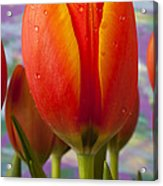 Orange Tulip Close Up Acrylic Print by Garry Gay