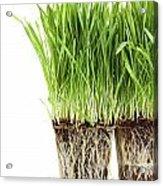 Organic Wheat Grass On White Acrylic Print by Sandra Cunningham