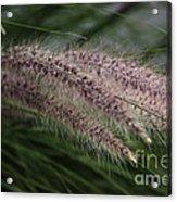 Ornamental Grass Acrylic Print by Marjorie Imbeau