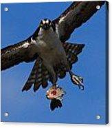 Osprey In Flight Acrylic Print by Paul Marto