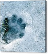Otter Footprint In Snow Acrylic Print by Duncan Shaw