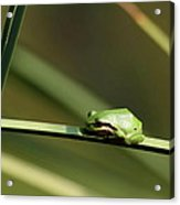 Pacific Tree Frog Acrylic Print by Angie Vogel