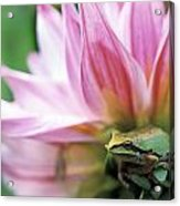 Pacific Tree Frog In A Dahlia Flower Acrylic Print by David Nunuk