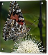Painted Lady Butterfly Din049 Acrylic Print by Gerry Gantt