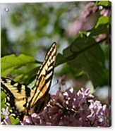 Papilio Glaucus   Eastern Tiger Swallowtail  Acrylic Print by Sharon Mau