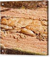 Parasitized Ash Borer Larva Acrylic Print by Science Source
