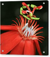 Passiflora Vitifolia - Scarlet Red Passion Flower Acrylic Print by Sharon Mau