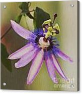 Passion Flower Acrylic Print by Artist and Photographer Laura Wrede