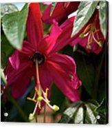 Passion Flower (passiflora Antioquiensis) Acrylic Print by Dr Keith Wheeler