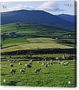 Pastoral Scene Near Anascual, Dingle Acrylic Print by The Irish Image Collection