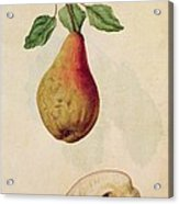 Pear   Pyrus Communis Acrylic Print by J le Moyne de Morgues