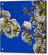 Pear Spring Acrylic Print by Chad Dutson